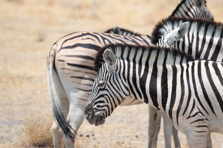 IMG_9821-1 - Zebra in Etosha