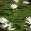 Kikker en waterlelies