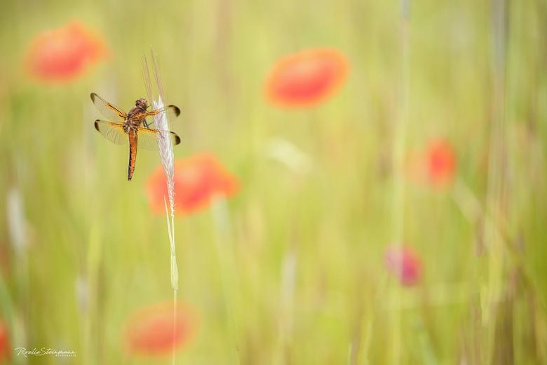 """The poppies blow - Voor de afwisseling <img  src=""""/images/smileys/wilt.png""""/> een foto van de bruine korenbout in een veld met klaprozen. Gemaakt tijd"""