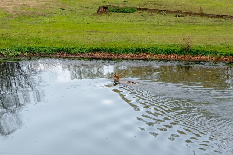 GertGrootherder (17) - zwemmende reebok