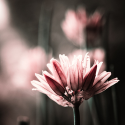 Allium schoenoprasum oftewel bieslook.