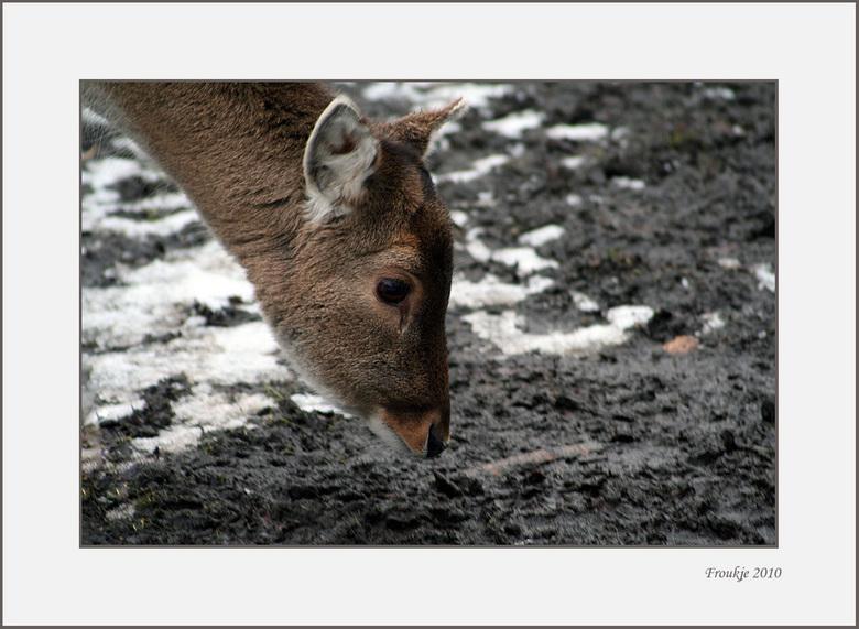close-up - Foto van een hertejong ,hij was nieuwsgierig en kwam naar me toe lopen .<br /> Bedankt voor de reacties op mijn vorige upload.<br /> Groe