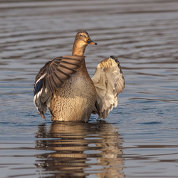 Wild Duck Dance
