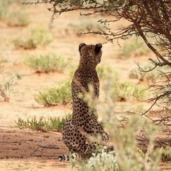 Cheetah op wacht
