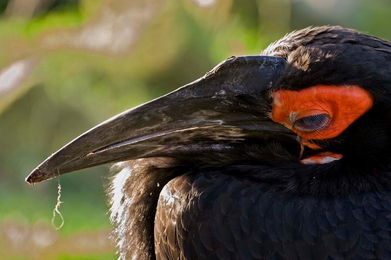 zwarte hoornraaf