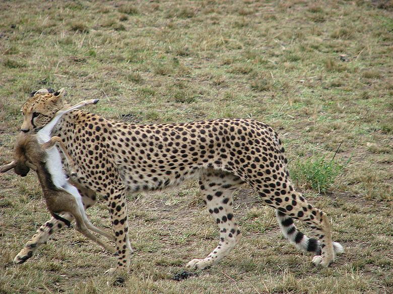 Kenia - Safari -