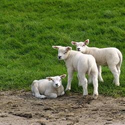 dieren serie 132. Lammetjes.