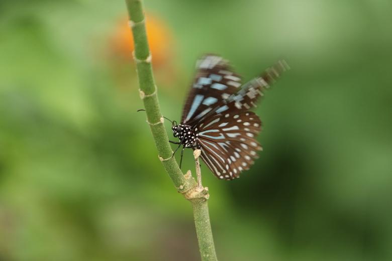 """blauwe Tijger - oftewel de Dark blue Tiger. Al fladderend op zoek naar een bloem. Was bij deze vlinder niet een groot succes<img  src=""""/images/smileys"""