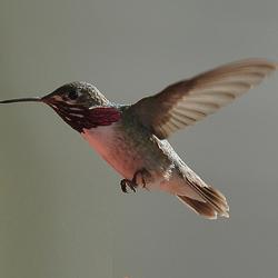 Calliope Hummingbird, Canada