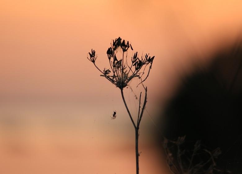 Spin in beeld - Ik ging voor het maken van een foto van de ondergaande zon echter had ik ineens een model in beeld, deze kleine spin