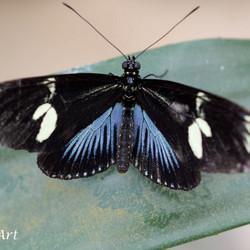 Laatste vlinder uit de serie 100% macro