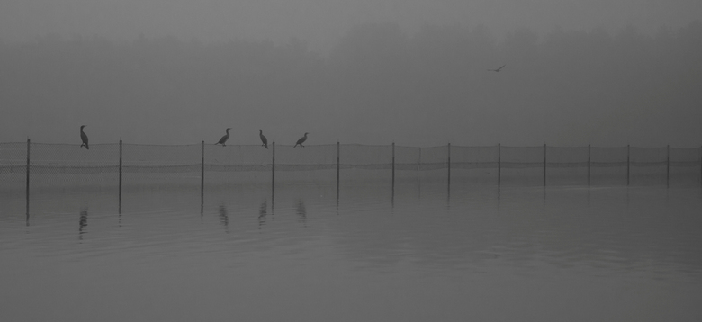 Aalscholvers op een rijtje - Een paar aalscholvers op een rij op een hekje midden in een groot meer.