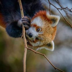 Roode Panda Dag !!