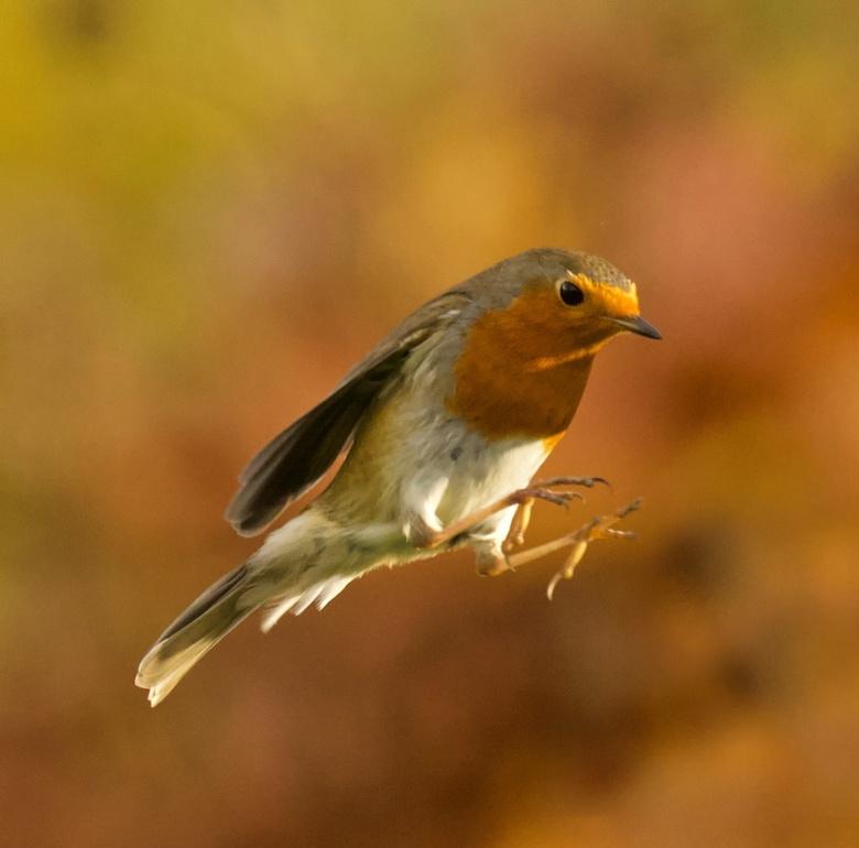 Roodborst - blijven mooie vogeltjes