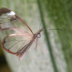 Glasvleugelvlinder (Greta oto)