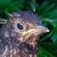Lijsterjong net uit de nest