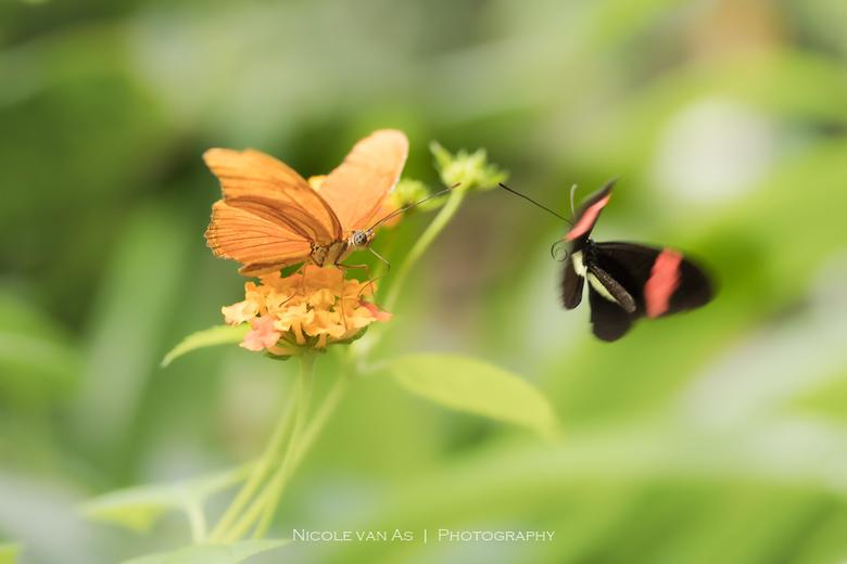 Together - Together<br /> <br /> De Passibloemvlinder (oranje) en de Heliconius Erato, samen fladderend in de vlindertuin.  Op zoek naar een partner