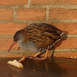 Vogel serie 145. Waterral.