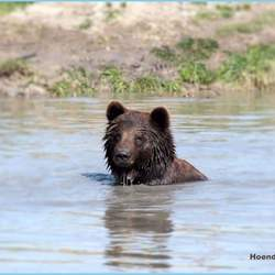 Cooling down bear