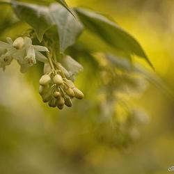 Bloeiende Pimpernoot