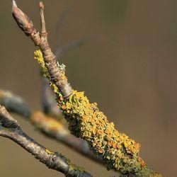 Xanthoria polycarpa - Klein dooiermos