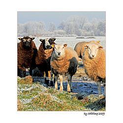Winterse schapen
