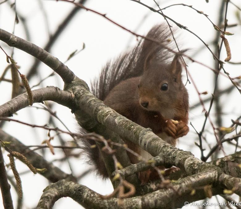 Eekhoorn (Sciurus vulgaris) - Met zijn lange, gekromde klauwen kan hij makkelijk in bomen klimmen en van tak naar tak springen. Tijdens een sprong spr