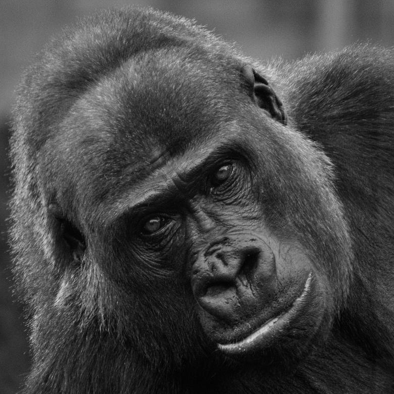 Gorilla - Mentoraat 1 -