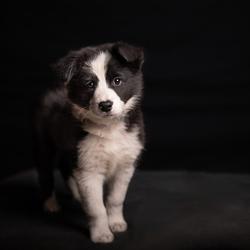 Border Collie puppy Max