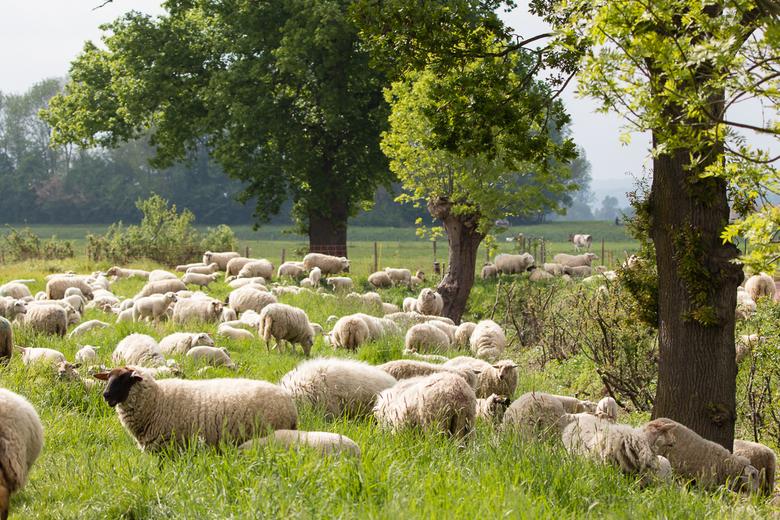 Natuurlijke grasmaaiers - Bij ons in de buurt hebben we natuurlijke grasmaaiers. Heel leuk om te zien hoe zo'n kudde schapen het gras maait.