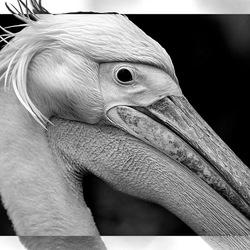 pelican framed...