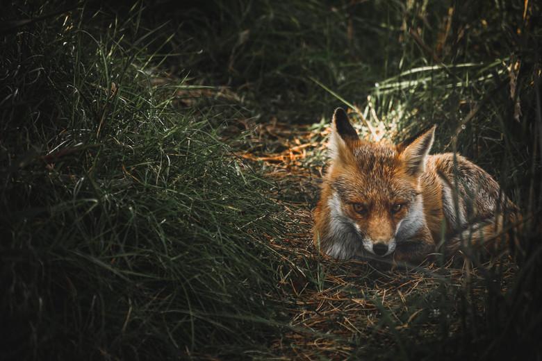 Moody fox -