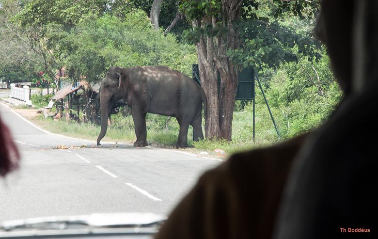 pas op overstekende olifant 1903038356Rm1w - wilde olifant maar voorbij rijdende Singalezen geven haar wat fruit ,een goede daad..