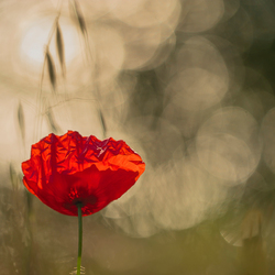 magic poppy
