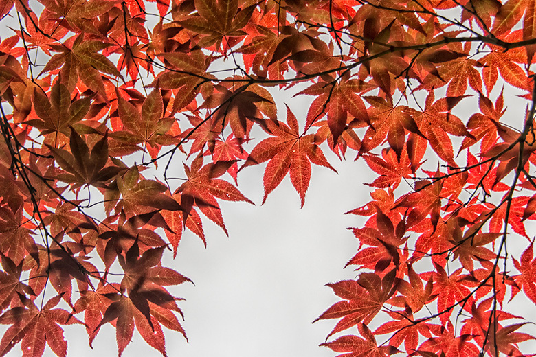 Het lijkt wel herfst vandaag  - Omdat vandaag herfstachtig is een plaatje van de Japanse esdoorn.