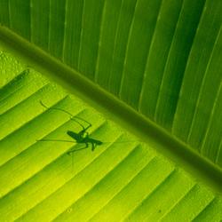 Bananenblad (3)