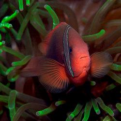 Bridled Anemonefish