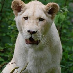 een witte leeuwin