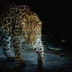 Amur Leopard Out Of The Dark ....