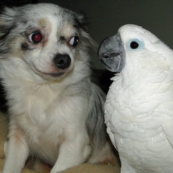 Een krachtstrijd tussen mijn Chihuahua Lisa & mijn Witkuifkaketoe Maxi!