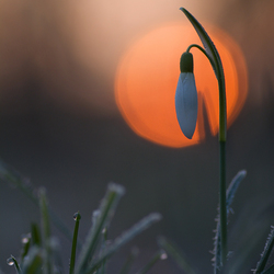 Snowdrop at sunrise
