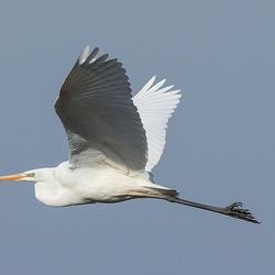 witte reiger in vogelvlucht