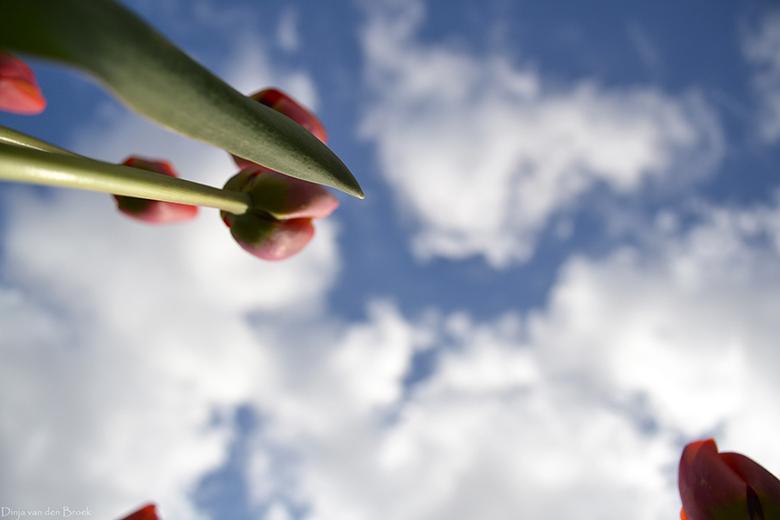 Hollandse tulpen  - April 2012 - Nederland - Nikon D3100<br />