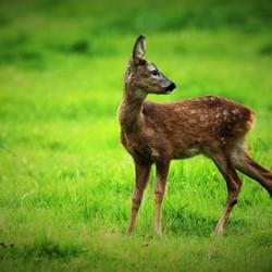 Bambi verliest zijn jeugdkleed.