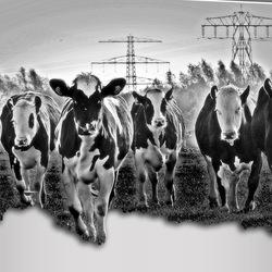 Koeien lopen uit het schilderij