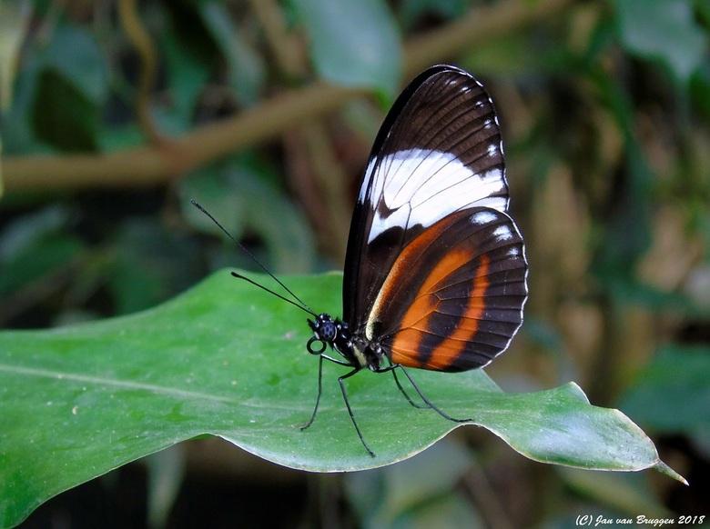 Heliconius Cydno..  - Heliconius cydno is een vlinder uit de familie Nymphalidae. De soort komt voor van Colombia en Ecuador tot in Mexico.<br /> <br