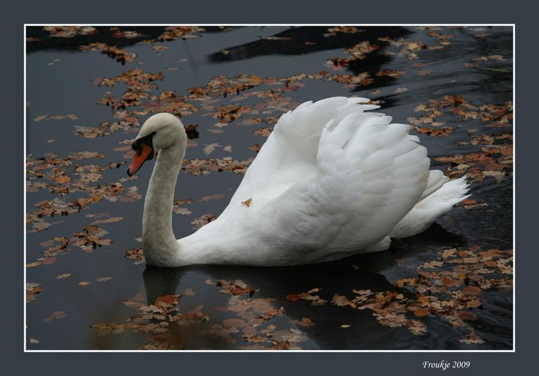 moeders mooiste  - Vanmiddag het bos even in geweest ,zag deze zwaan in het water met de herfstbladeren om hem heen .<br /> Groetjes Froukje <br />