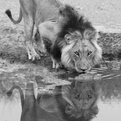 Kalahari leeuw