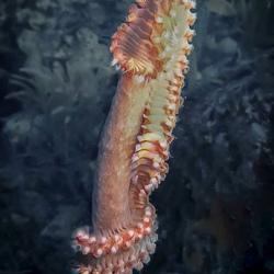 Bearded fireworm, Hermodice carunculata