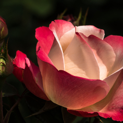 Een roos voor alle doeleinden.